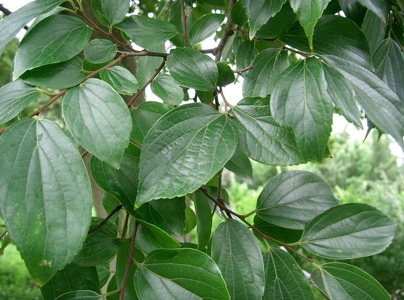hojas redondeadas y que acaba en punta en ramas de arbol