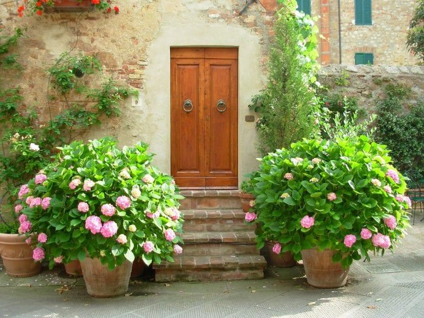 Las hortensias son plantas ideales para cultivar en macetas