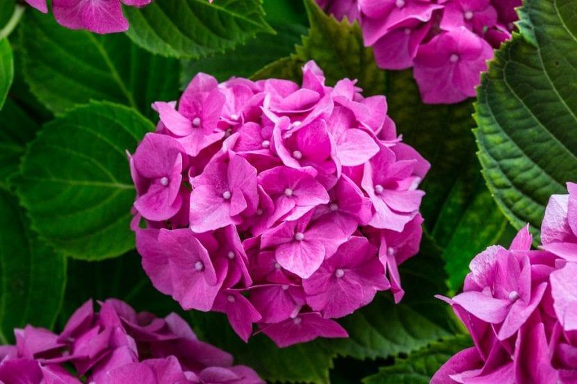 Las hortensias tienen las flores de distintos colores