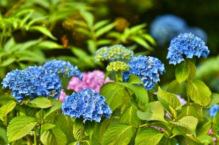 Las hortensias, o Hydrangea, son arbustos muy fáciles de cuidar