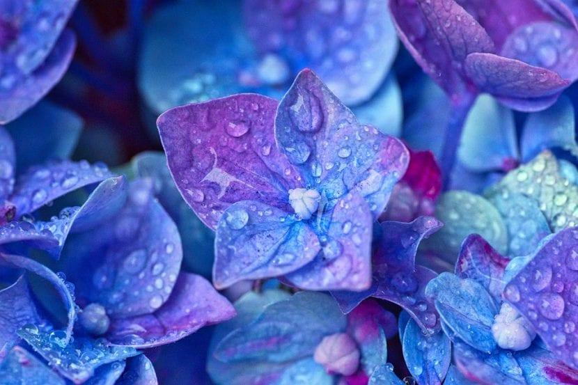 Las flores de hortensias son muy decorativas