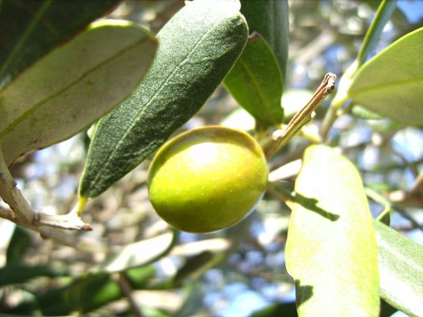imagen de una aceituna de cerca que cuelga de una rama del olivo