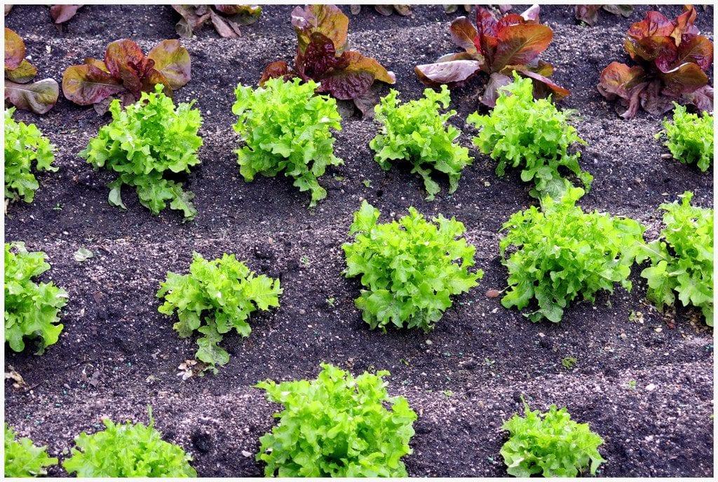 Planta lechugas en tu huerto