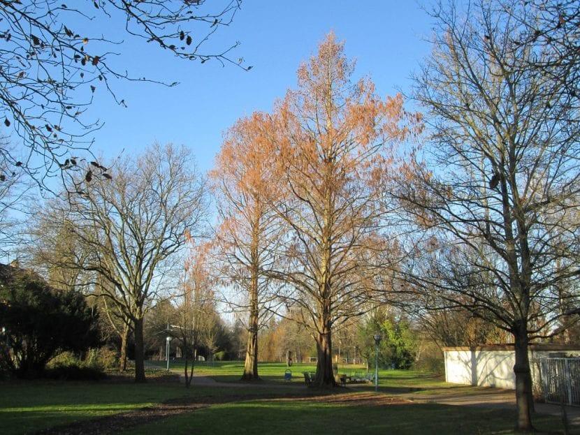La Metasequoia se vuelve marrón en otoño