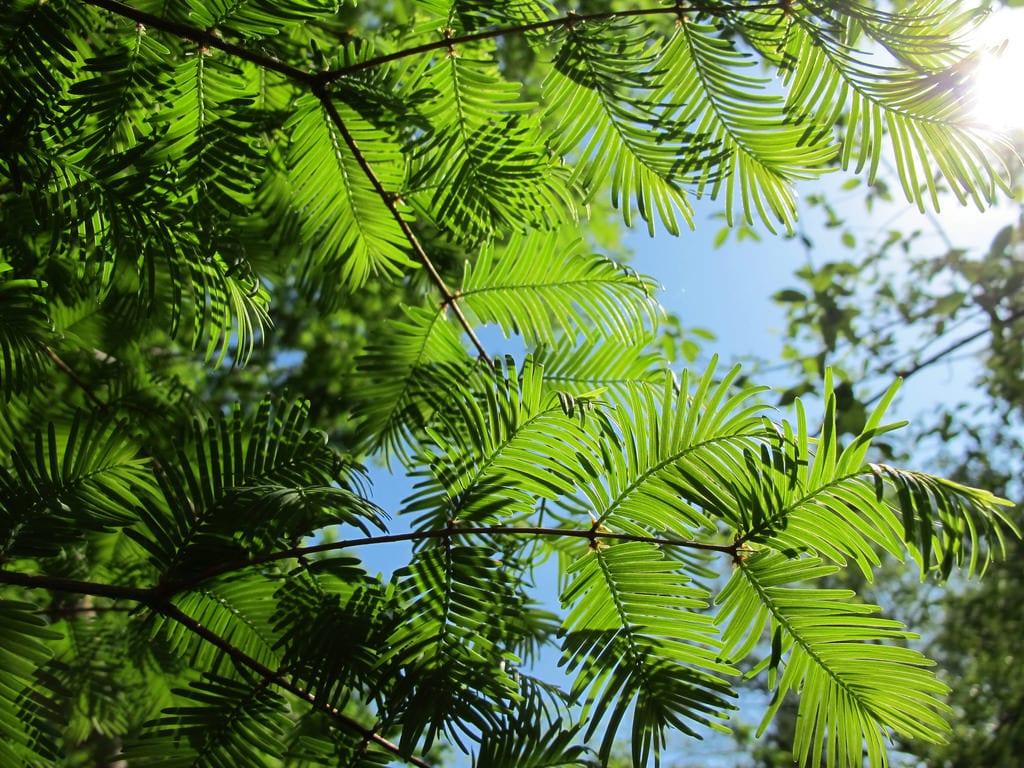 Vista de la Metasequoia