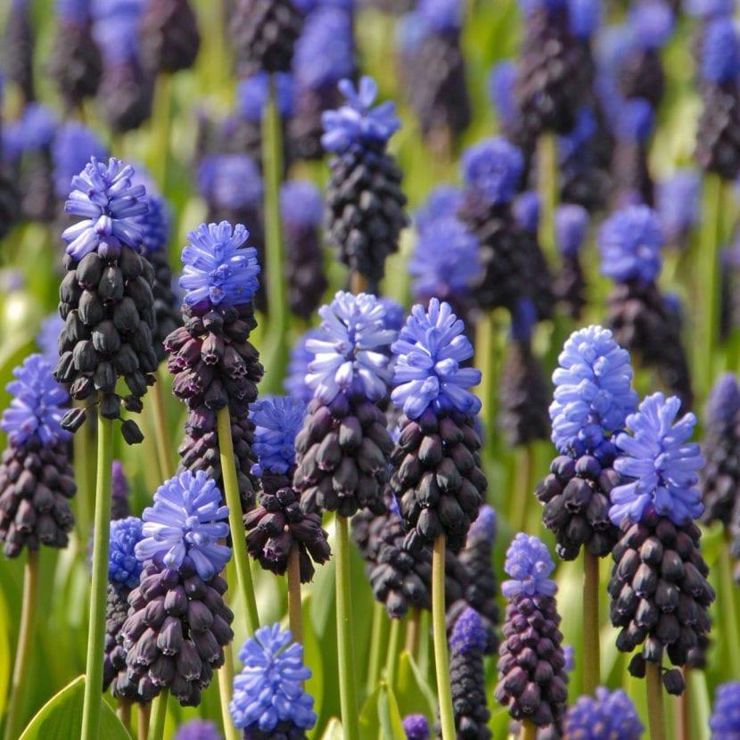 Vista de las flores de muscari