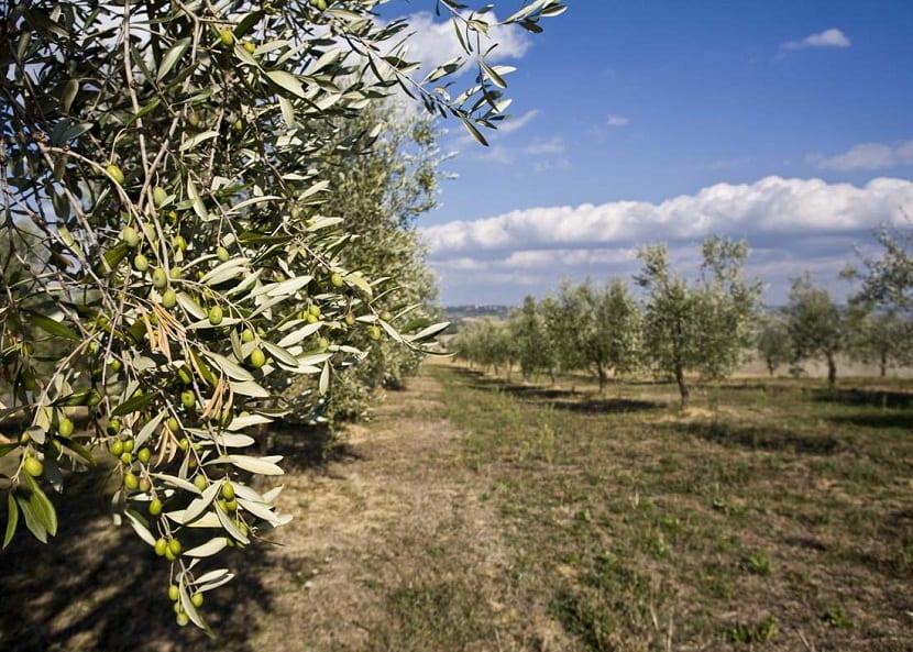 olivar lleno de olivos y aceitunas u olivas verde
