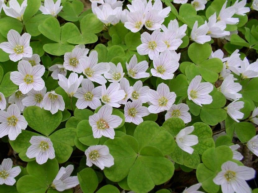 pequeñas flores de color blanco que se encuentra rodeadas de hojas verdes y en forma de trebol