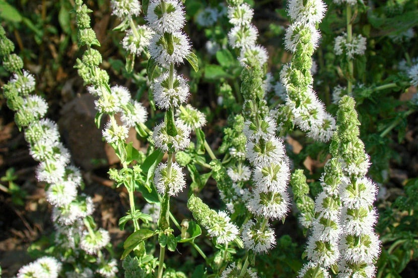 planta con flores de color blanco que tienen fines medicinales