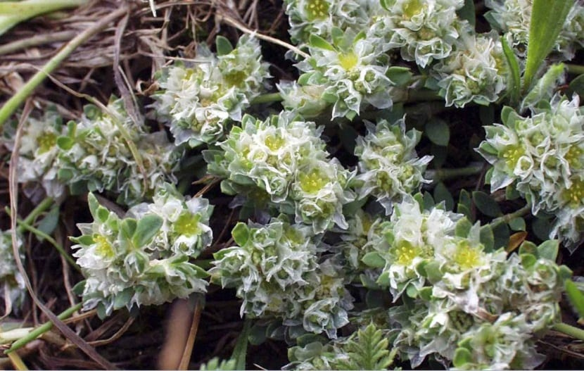 plantas silvestres de color blanco parecidas al color de la nieve