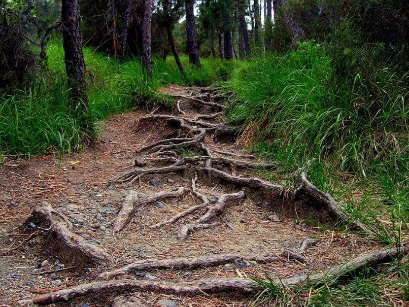 Raíces invasivas de árboles