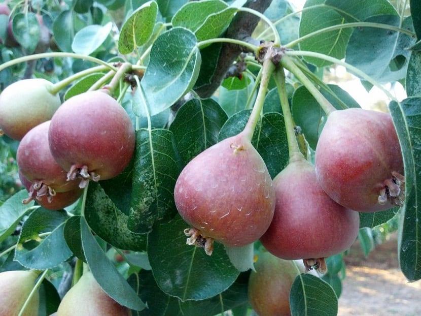 rama de arbol frutal llena de peras pequenas