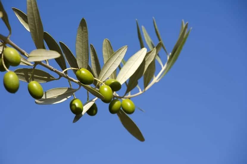 rama del olivo con aceitunas de color verde tras un cielo azul