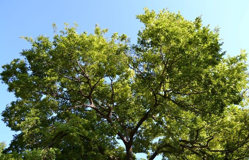 ramas altas de un arbol llamado Celtis sinensis