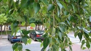 ramas de arboles que se pueden encontrar en parques y jardines