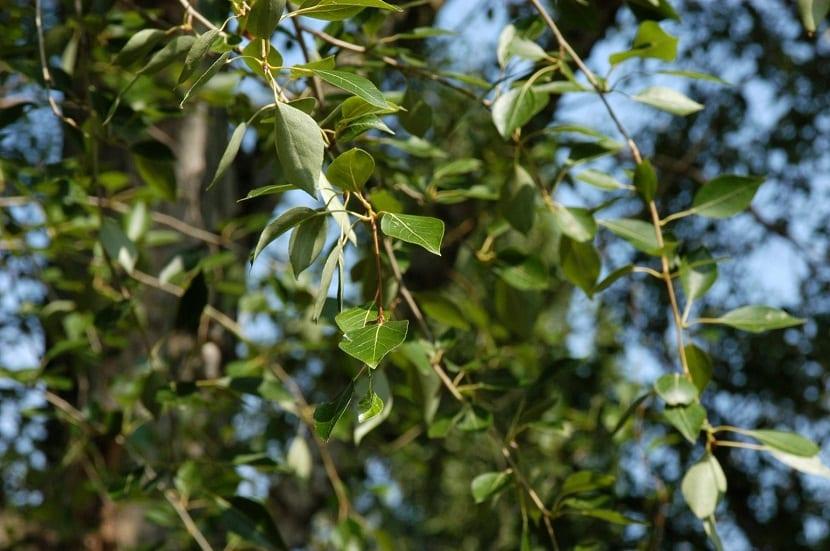 ramas y hojas del chopo llamado Populus simonii