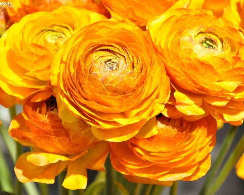 Las flores de ranúnculo son perfectas para el jardín