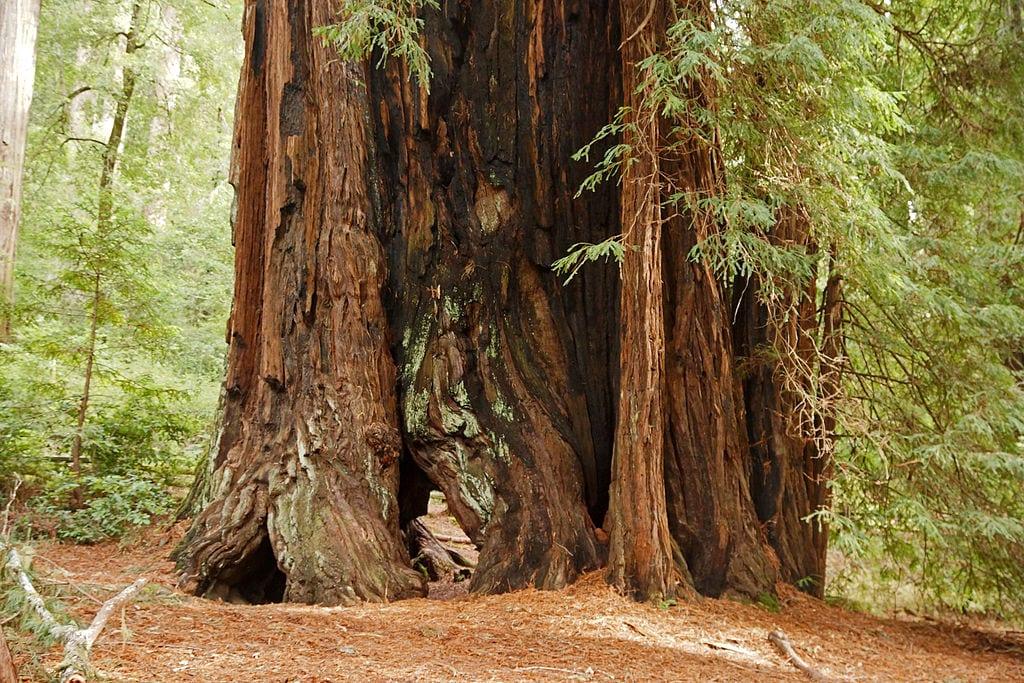 El tronco del Sequoia sempervirens es muy grueso