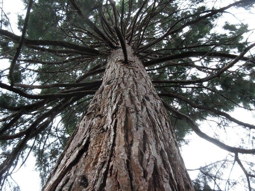 El Sequoya sempervirens es una planta muy grande