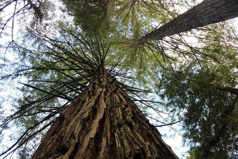 Vista de Sequoia sempervirens en su hábitat