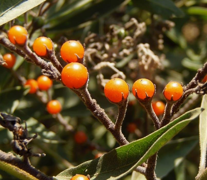 Frutos de Solanum crispum