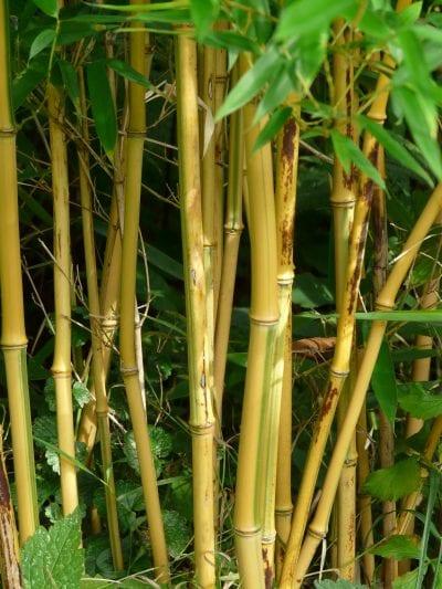 Vista de los tallos del bambú amarillo