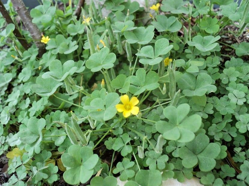 una flor silvestre de color amarillo rodeada de hojas de color verdoso