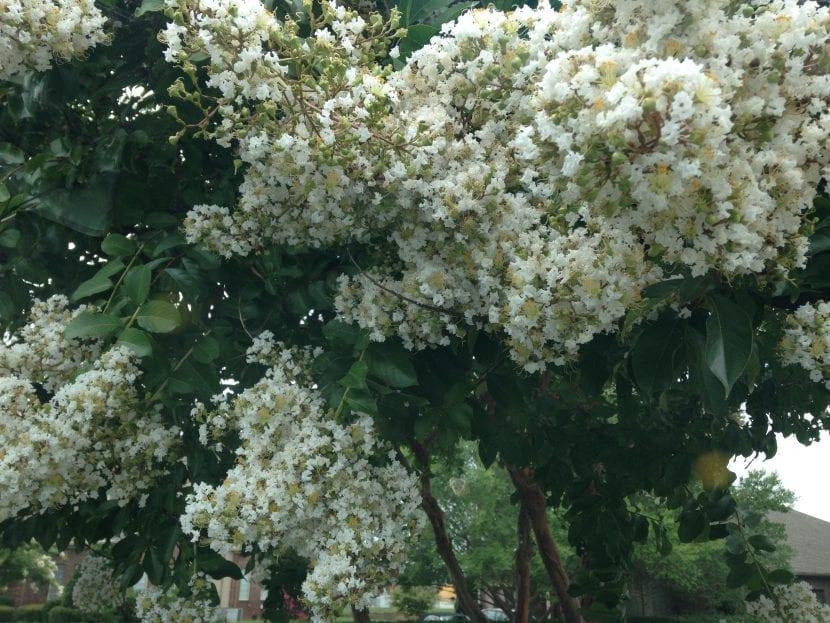 El Viburnum opulus es un arbusto fácil de cuidar