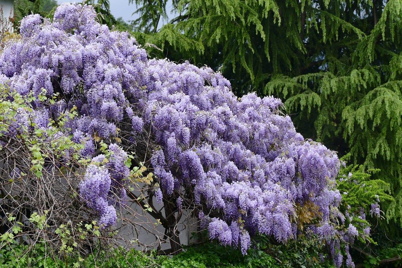 La Wisteria es un arbusto que ocupa un buen espacio