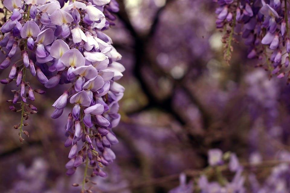 La Wisteria o glicinia es un arbusto caducifolio