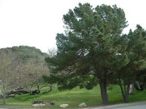 Árbol Pinus radiata