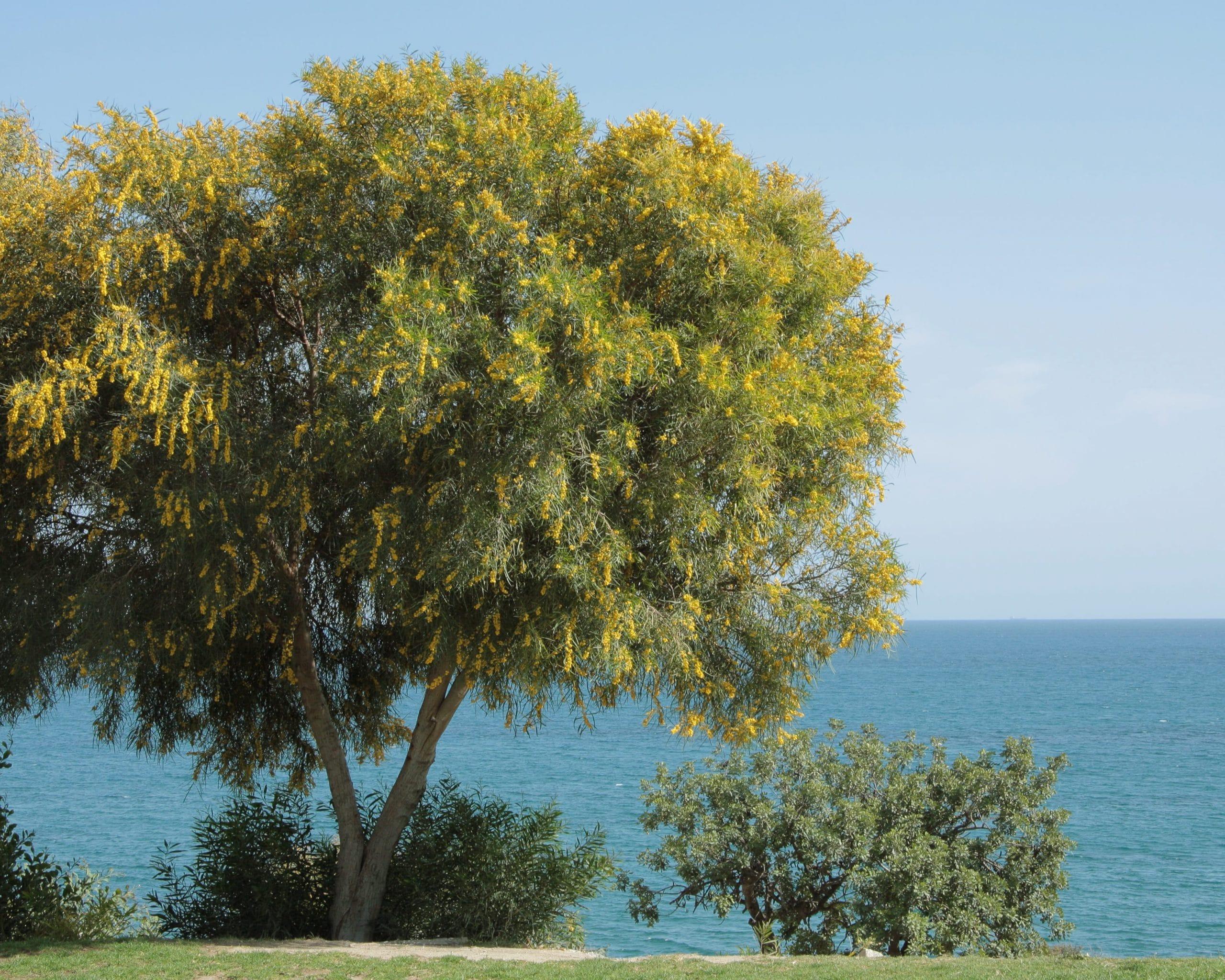 Vista de la Acacia saligna