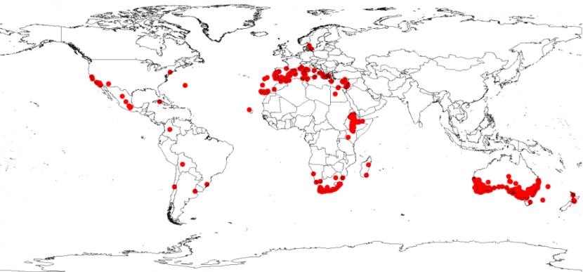 La Acacia saligna está en casi todo el mundo