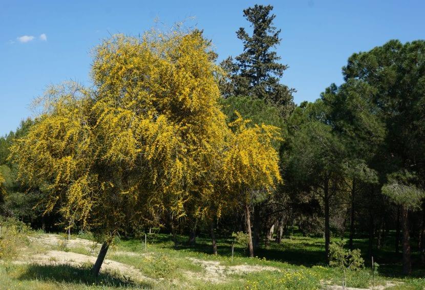 Acacia saligna en flor