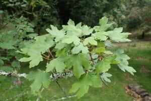 Hojas del Acer granatense