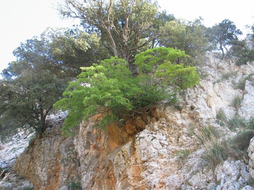 Hábitat del Acer granatense
