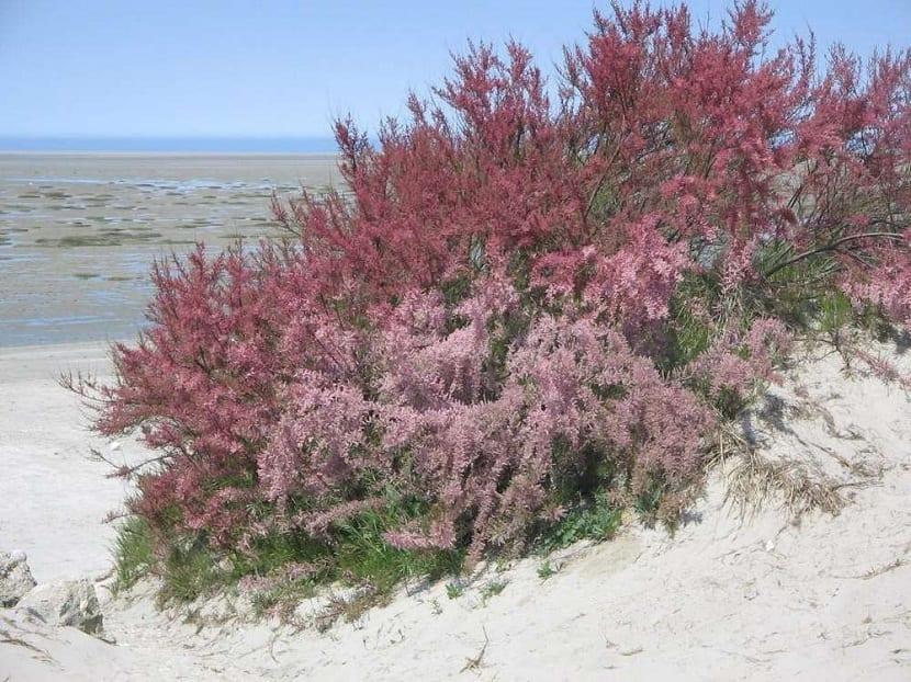 Arbusto de Tamarix gallica