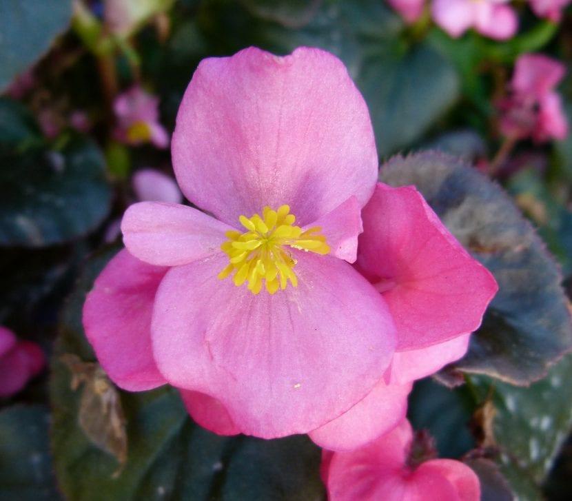 La flor de la Begonia semperflorens puede ser rosa