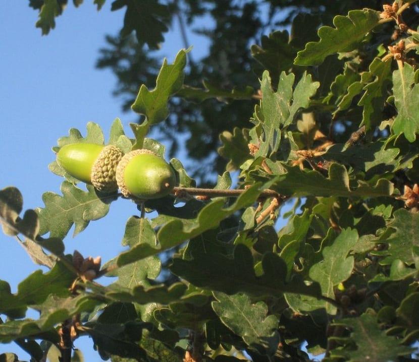 Bellotas del Quercus humilis