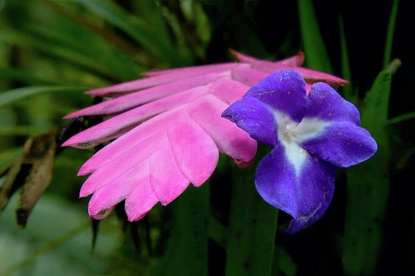 Detalle de la flor Tillandsia cyanea
