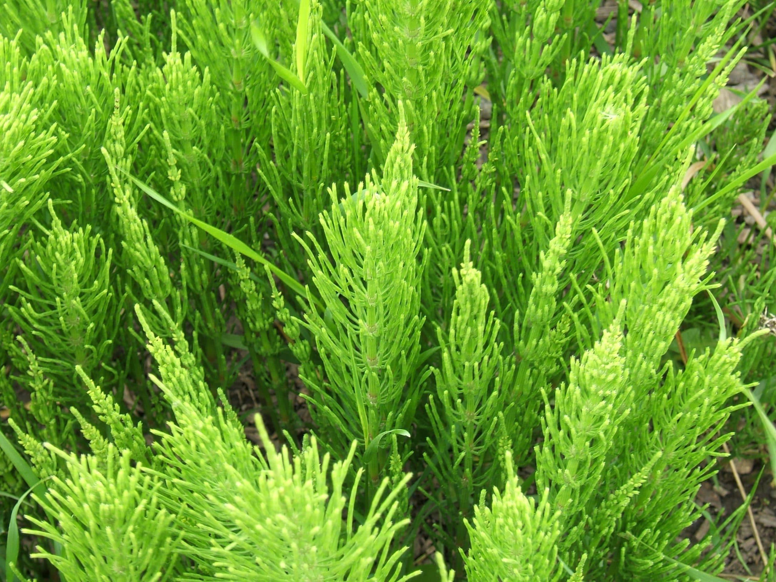 Las hojas del Equisetum arvense son verdes