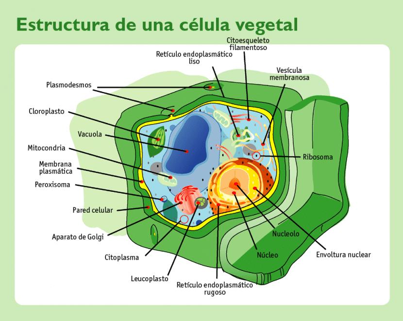 Vista de la estructura de las células vegetales