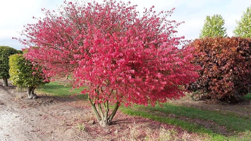 Euonymus alatus crecido