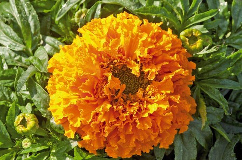 Flor del Tagete erecta