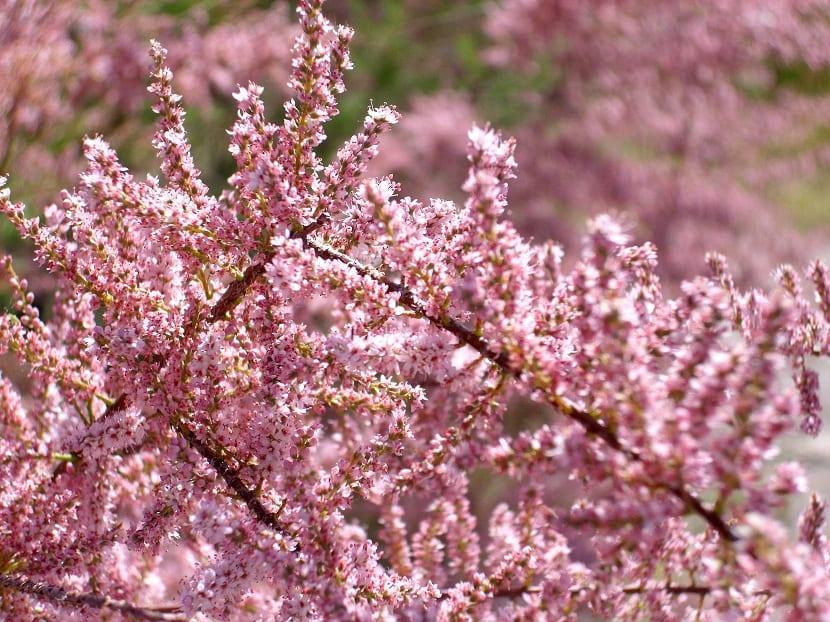 Flores Tamarix gallica