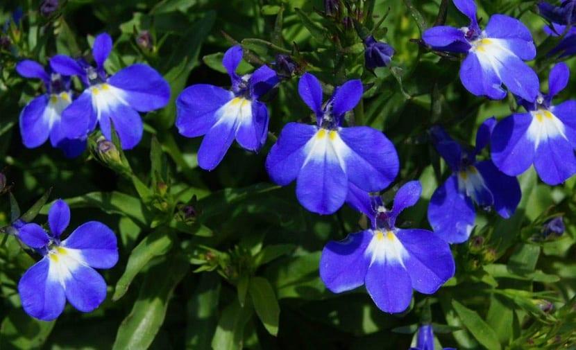 Flores de Lobelia erinus
