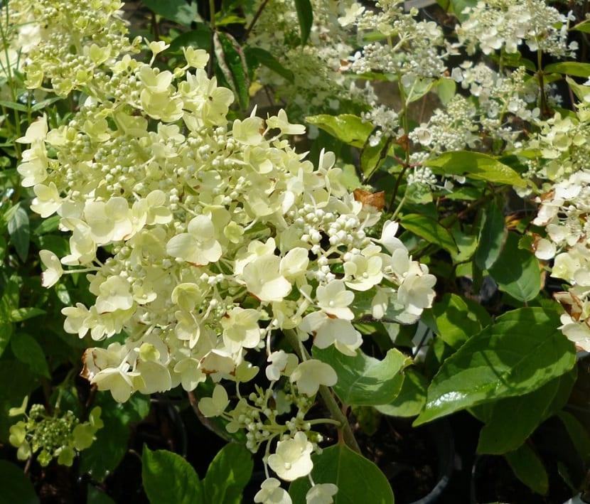 Flores de la Hydrangea paniculata