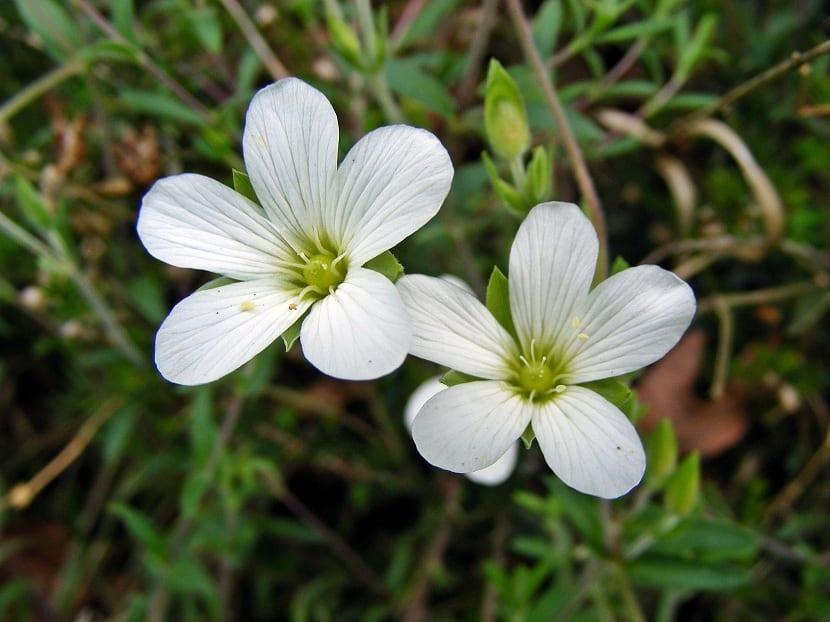 Flores de la Saxifraga granulata
