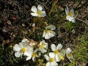 Flores del Cistus clusii
