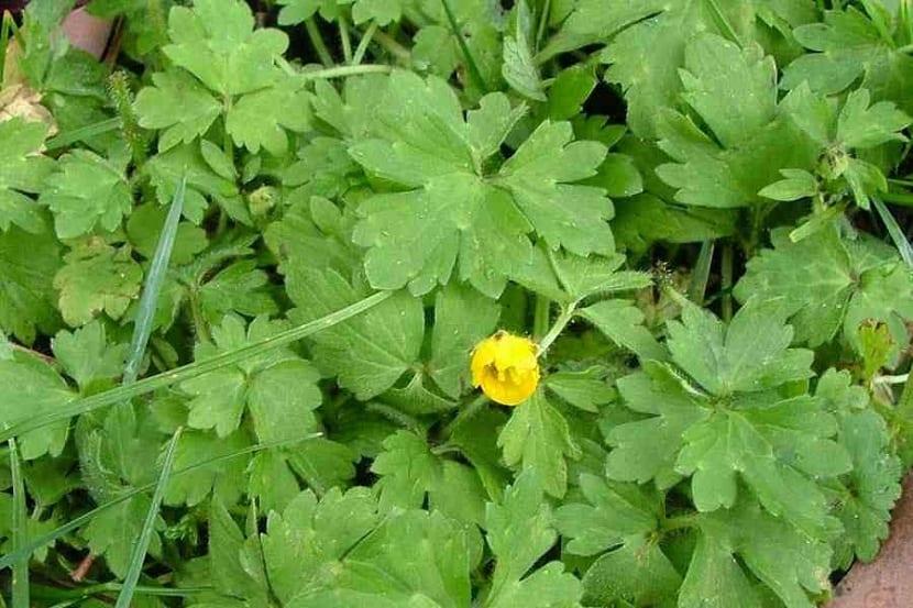 Flores del botón de oro